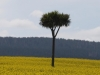 Cabbage Tree in Yellowfields